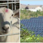 Sheep and Solar Panels Keeping Susquehanna University Green